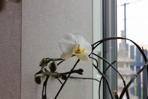 胡蝶蘭が咲きました